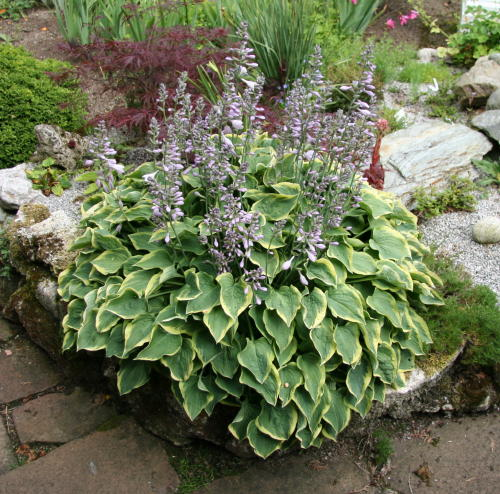 Hosta Veronica Lake