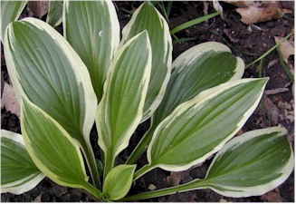 Hosta Neat Splash