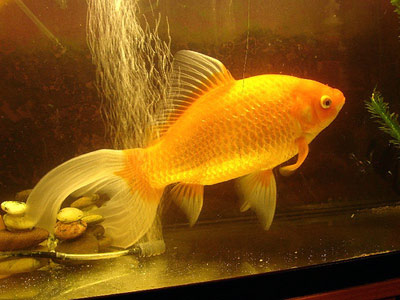 Can i add minnows with goldfish in my 42l tank yahoo for Can you eat koi fish