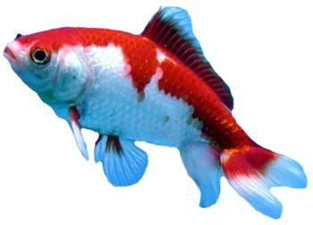 Goldfish koi for Koi fish near me